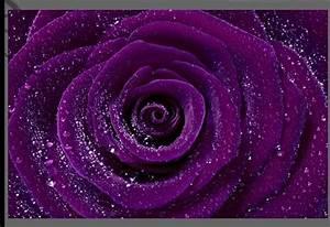 LARGE PURPLE ROSE FLORAL CANVAS PICTURE RAINDROPS A1 | eBay  Purple