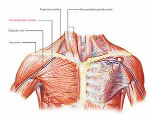 Easy Notes On  U3010the Pectoral Region  U2013 Muscles U3011learn In Just