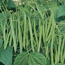 Buy French Bean (climbing) Cobra (may Despatch) Plants
