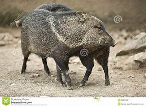 Collared Peccary Rub Against Each Other Royalty Free Stock ...