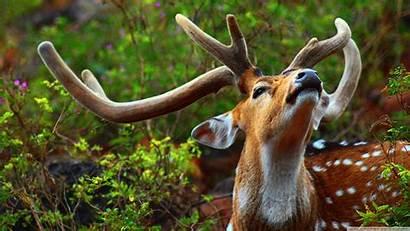 Animal Wild Deer 4k Wallpapers Desktop Background