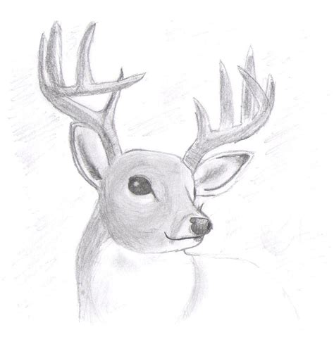 drawn reindeer realistic pencil   color drawn