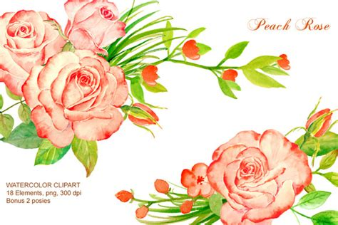 peach roses watercolor clipart illustrations  creative