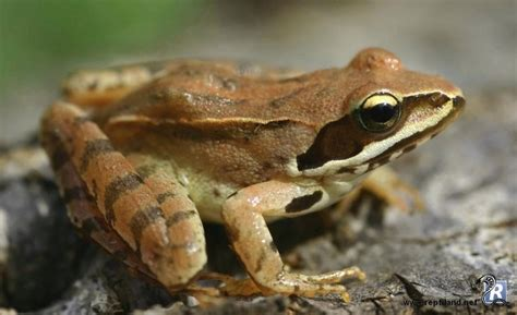 40 best images about grenouilles crapauds on frogs madagascar and cars