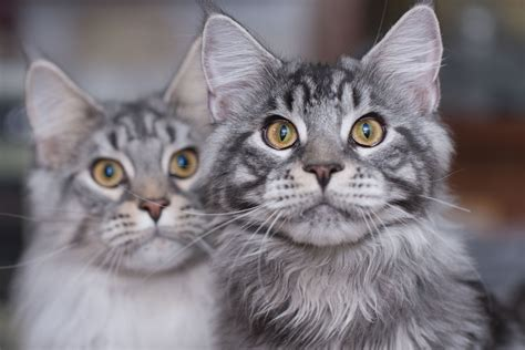 home interior ideas for living room maine coon cat breed profile