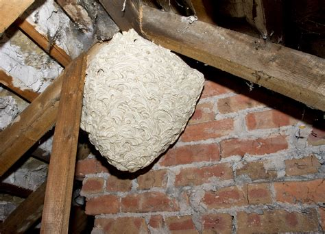 removing  wasp nest yds