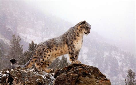 Snow Animal Wallpaper - snow leopard wallpapers wallpaper cave