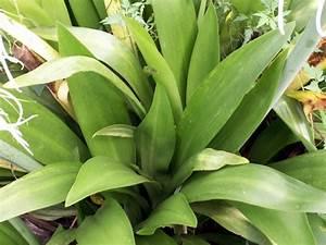 Feuille De Lys : photo feuilles lys araign e hymenocallis littoralis photo la r union n 5263 ~ Nature-et-papiers.com Idées de Décoration