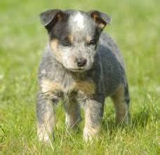 Do Blue Heelers Shed by 1000 Images About Blue Heller A K A My Fav On