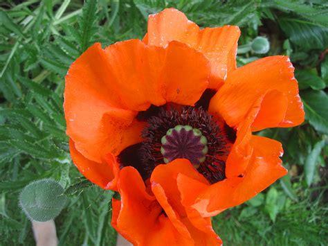 Garten Mohn Pflanzen by T 252 Rkischer Mohn Pflanze Papaver Orientale Staude