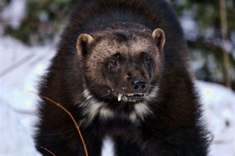 wolverine kill  man   wolverine facts