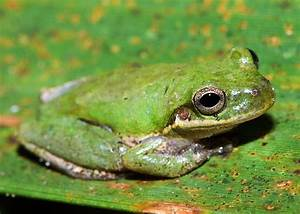 Photos of hylid frogs, Hylidae