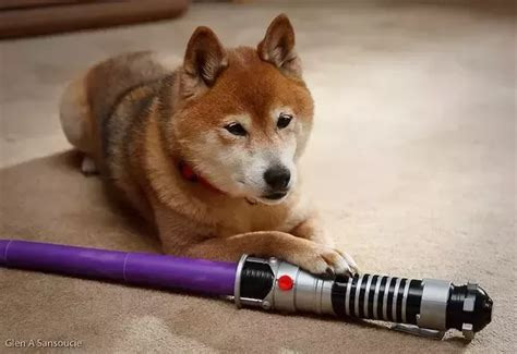 What Is The Difference Between Corgis And Shibas?