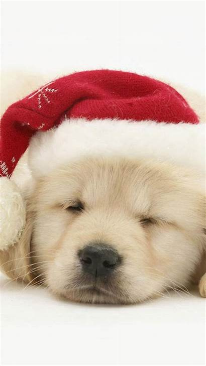 Christmas Puppy Dog Puppies Wallpapers Golden Retriever