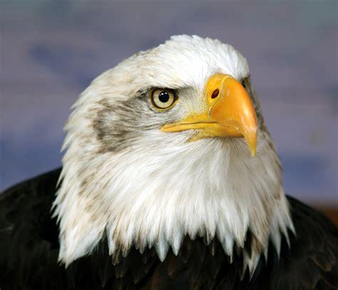 Bald Eagle Images File Bald Eagle Frontal Jpg Wikimedia Commons