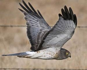 Northern Harrier | Audubon Field Guide