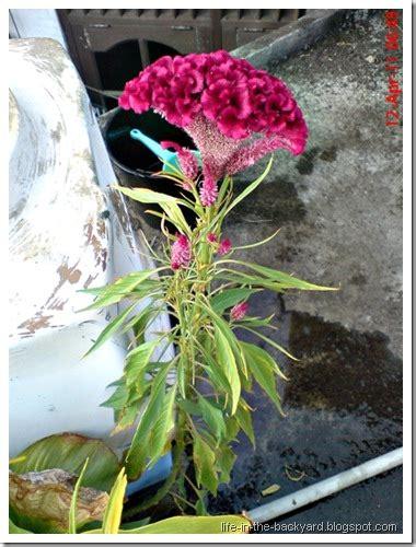tanaman obat jengger ayam celosia cristata