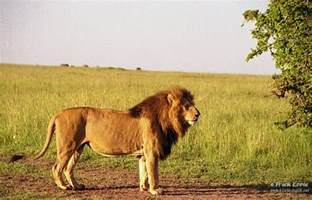 African Male Lions Fighting