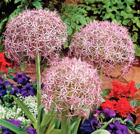 all about ornamental alliums a planting guide for rich
