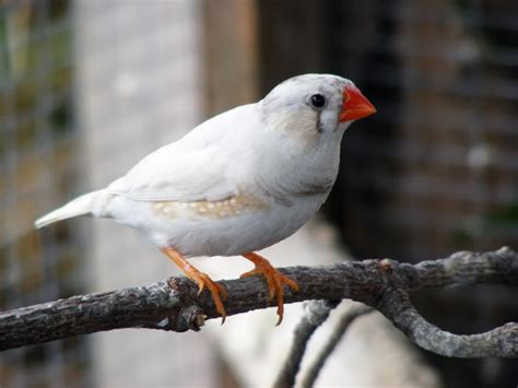 white male finch bird www pixshark com images