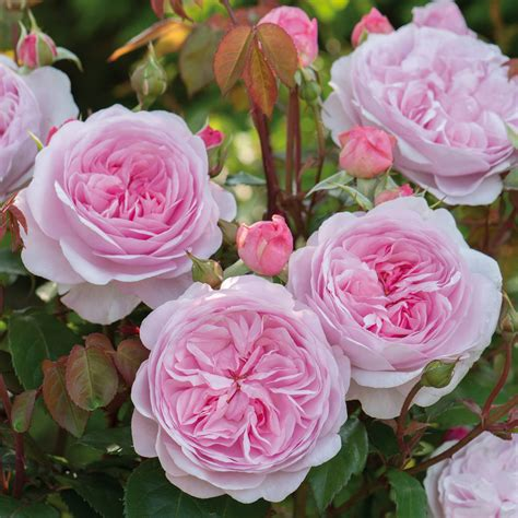austen roses olivia rose austin david austin roses