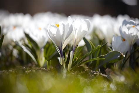how to plant crocus bulbs gardening 99roots