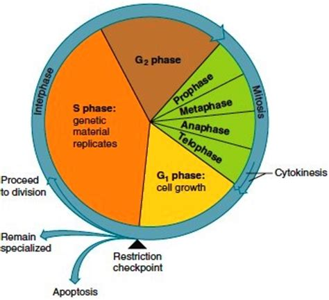 The Cell Cycle Cell Cycle Stages