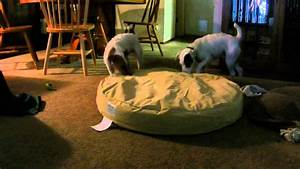 jack russell terriers testing orvis tough chew dog bed With orvis no chew dog bed