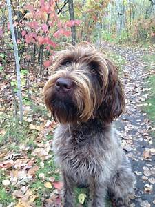 Stella Wirehaired Pointing Griffon | hunting dogs ...