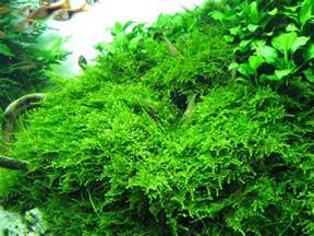 christmas moss caresheet aquatic mag