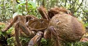 This Is All We Have to Say About the Goliath Birdeater ...