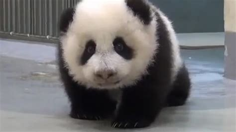 panda diplomacy  china  animal