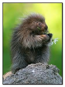 Porcupine Animal