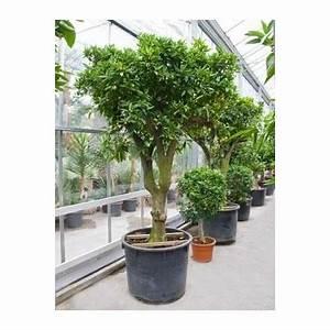 Arbuste D Intérieur : arbuste d appartement l 39 atelier des fleurs ~ Premium-room.com Idées de Décoration