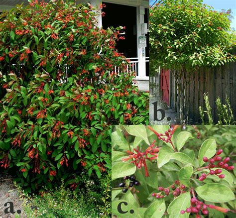 flowering hedges florida flowering shrubs florida life style by modernstork com