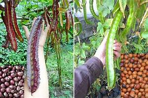 Rare Giant Or Common Purple Or Green Winged Bean Seeds