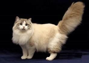 ragamuffin cat animals wiki pictures stories