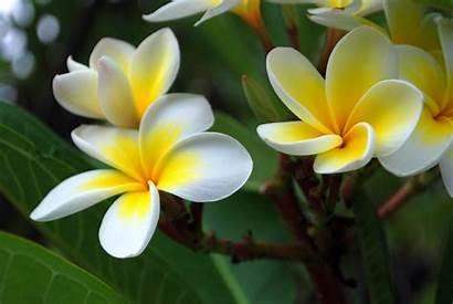 Plumeria Frangipani Flowers Wikipedia Flower Tree Names