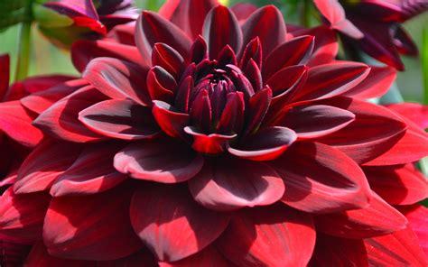 Red Dahlia Flowers Desktop Hd Wallpapers For Mobile Phones