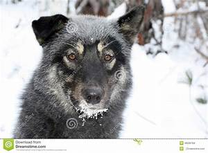 Siberian Hunting Dog Laika, Irkutsk Region, Stock Photo ...