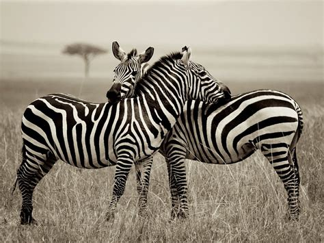 STRIPES HELP ZEBRAS!UNRAVELING THE MYSTERY BEHIND STRIPES