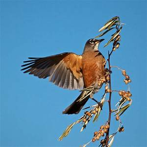 Robin Bird Flying