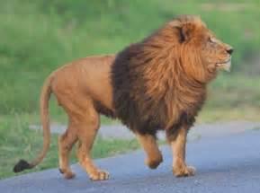 ライオン:ライオンフィーディング|動物 ...