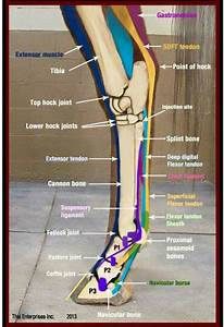 216 Best Images About Equine Anatomy On Pinterest
