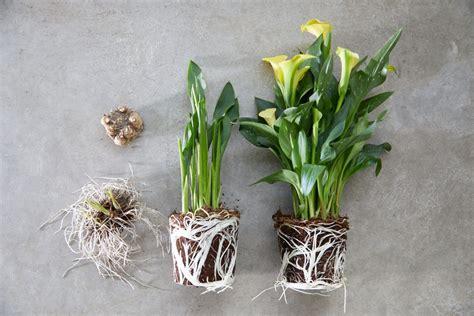 Calla Pflanzen Pflege by Pflege De Dynaplant