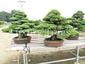 Unterschied Pinie Kiefer : pinus parviflora bonsai luxurytrees deutschland ~ Orissabook.com Haus und Dekorationen