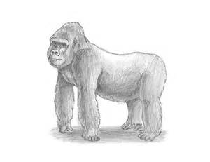 How to Draw Silverback Gorilla Drawings