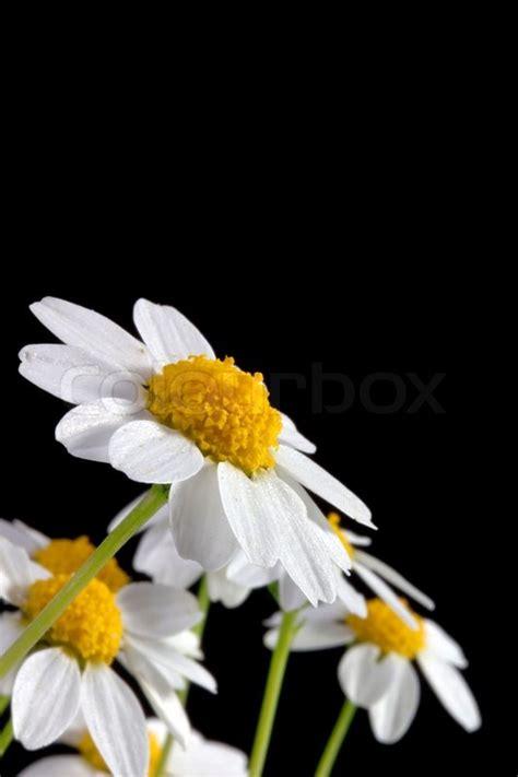 white daisy flower isolated   black background stock