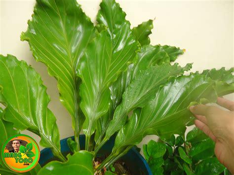 tanaman hias cocok didalam ruangan indoor