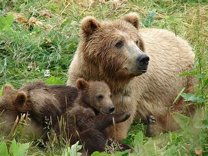 Bear Mama Rage Bears Pack Cubs Valley